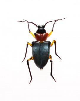 Cerambycidae_phantasia_michael_murner_Bockkaefer_1