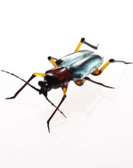 Cerambycidae_phantasia_michael_murner_Bockkaefer_2
